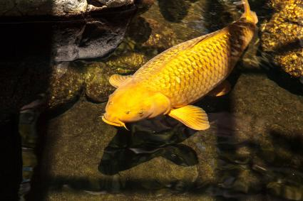 High angle view of Golden Koi