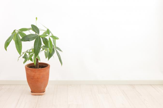 potted feng shui money tree plant