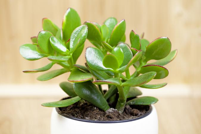 Potted jade plant for feng shui
