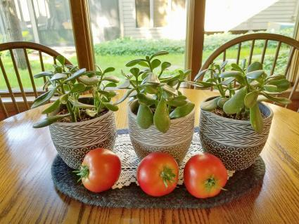 Ripe red tomatoes with jade plants in flower pot on kitchen table