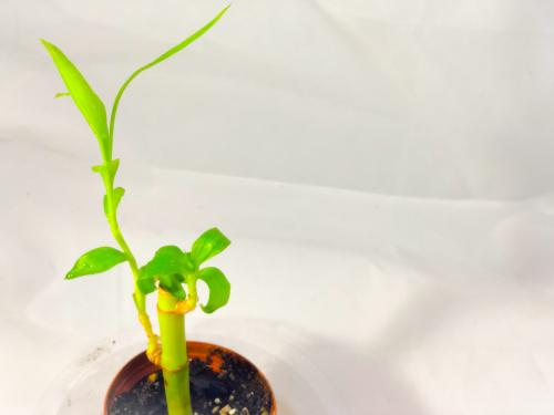 Decoding the Meaning of Lucky Bamboo Stalk Numbers | LoveToKnow