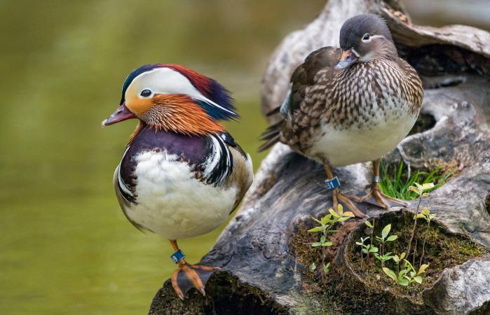 A couple of mandarin ducks