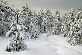 https://cf.ltkcdn.net/freelance-writing/images/slide/245570-850x567-snowy-pine-trees.jpg