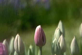 https://cf.ltkcdn.net/french/images/slide/124720-847x567-tulips.jpg