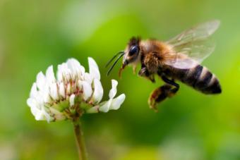 Bee - l'abeille