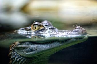 Crocodile - le crocodile