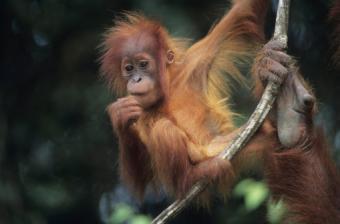 Monkey - le singe