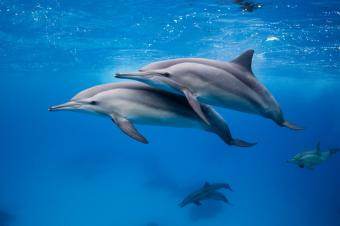 Dolphin - le dauphin