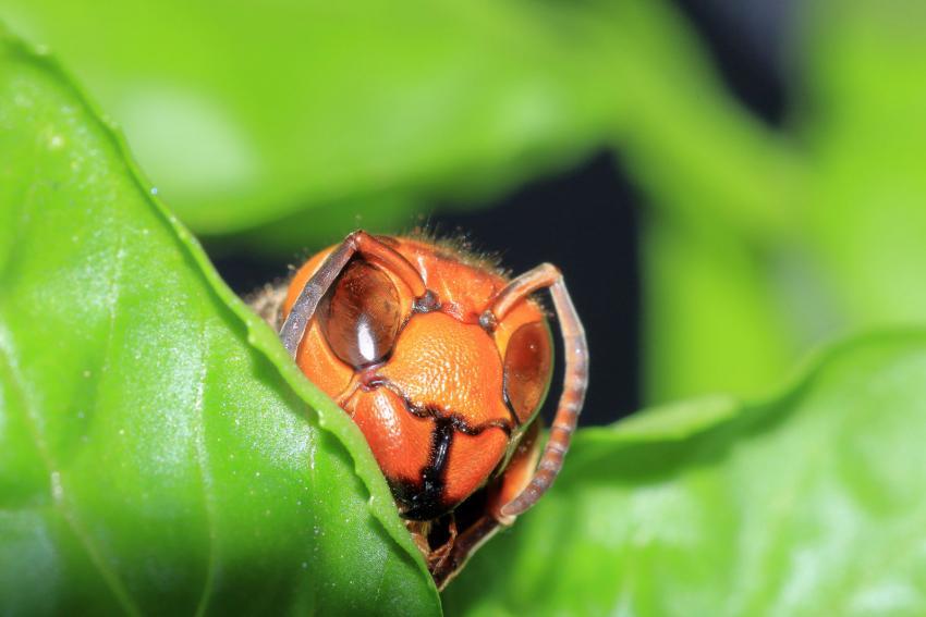 https://cf.ltkcdn.net/fun/images/slide/227058-850x567-japanese-giant-hornet-closeup.jpg