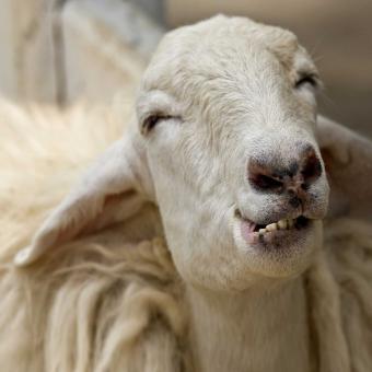 https://cf.ltkcdn.net/fun/images/slide/207189-850x850-Silly-sheep.jpg