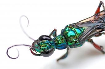 https://cf.ltkcdn.net/fun/images/slide/227062-850x566-Emerald-Cockroach-Wasp.jpg