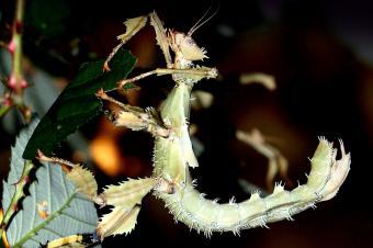 https://cf.ltkcdn.net/fun/images/slide/227066-850x566-Giant-Australian-Spiny-Stick-Insect.jpg