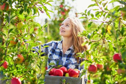 Girl picking apples in orchard
