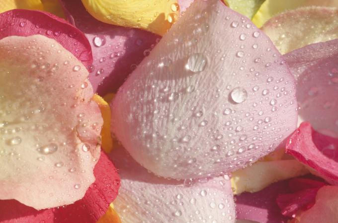 Blush rose petals