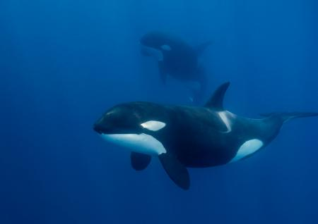 Killer whale swimming in blue water