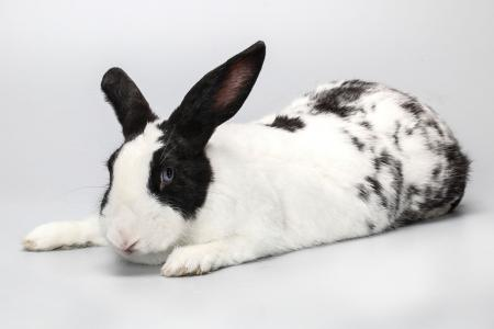 Black and white pet rabbit