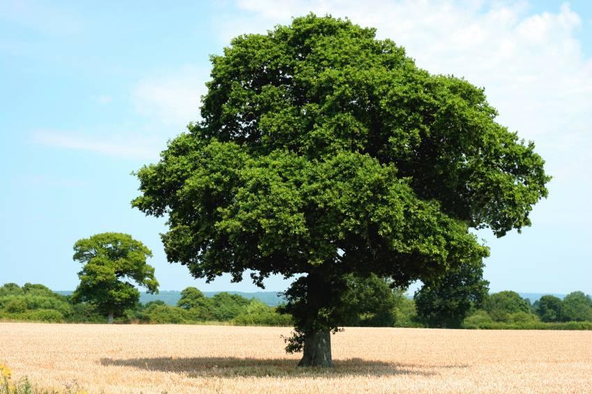 Oak Tree Varieties
