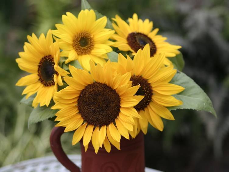 20 Seeds Helianthus annuus petiolaris Common Sunflower Sun Flower Bird Butterfly