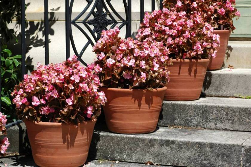 Wax Begonia Lovetoknow