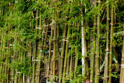 Small Bamboo Plant Transplanting Lovetoknow