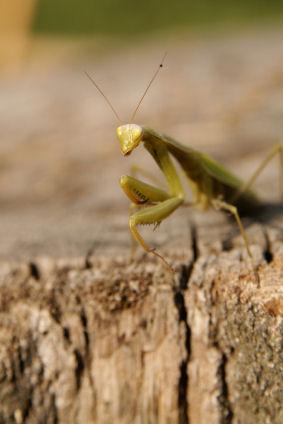 Praying Mantis Facts Lovetoknow