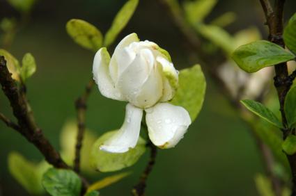 Fertilizer For Gardenias Lovetoknow