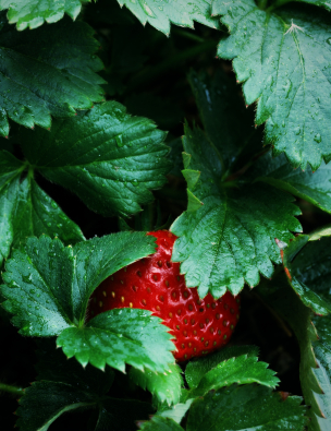 Fertilizer For Strawberries Lovetoknow