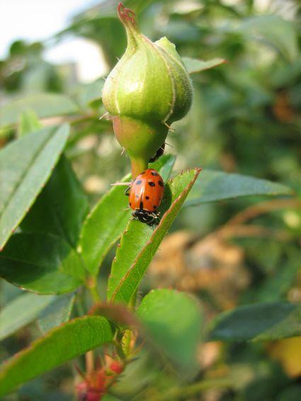 LadybugonBud.jpg