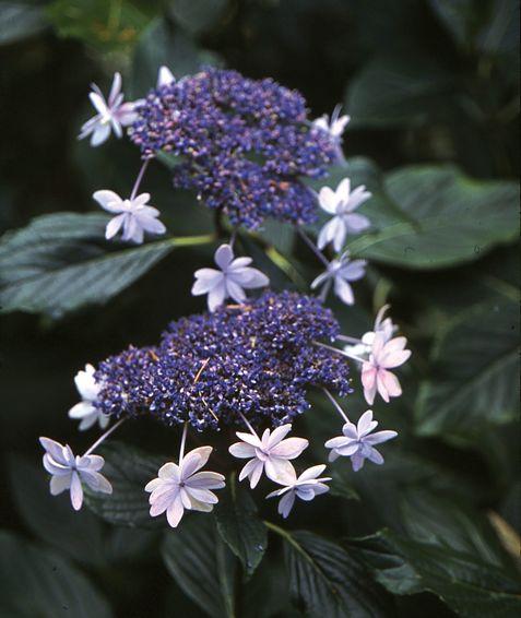Hydrangea-mac-Izu-no-Hana.jpg