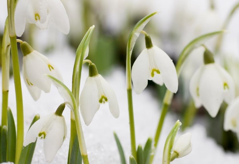Snowdrops2.jpg