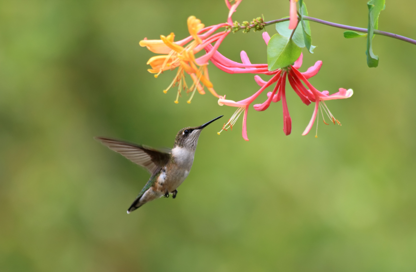 hummingbirdhoneysuckle.jpg
