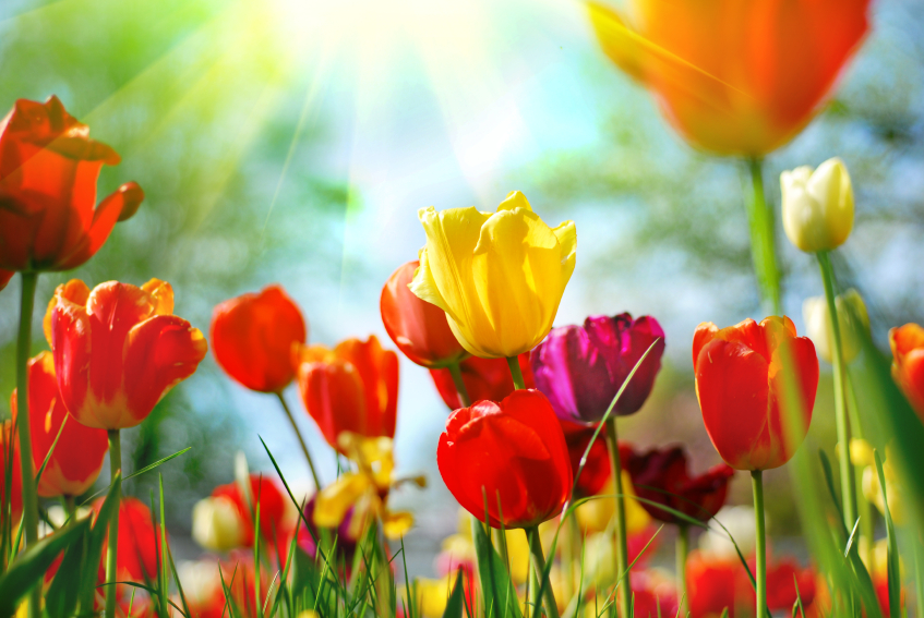 tulipsintro1.jpg