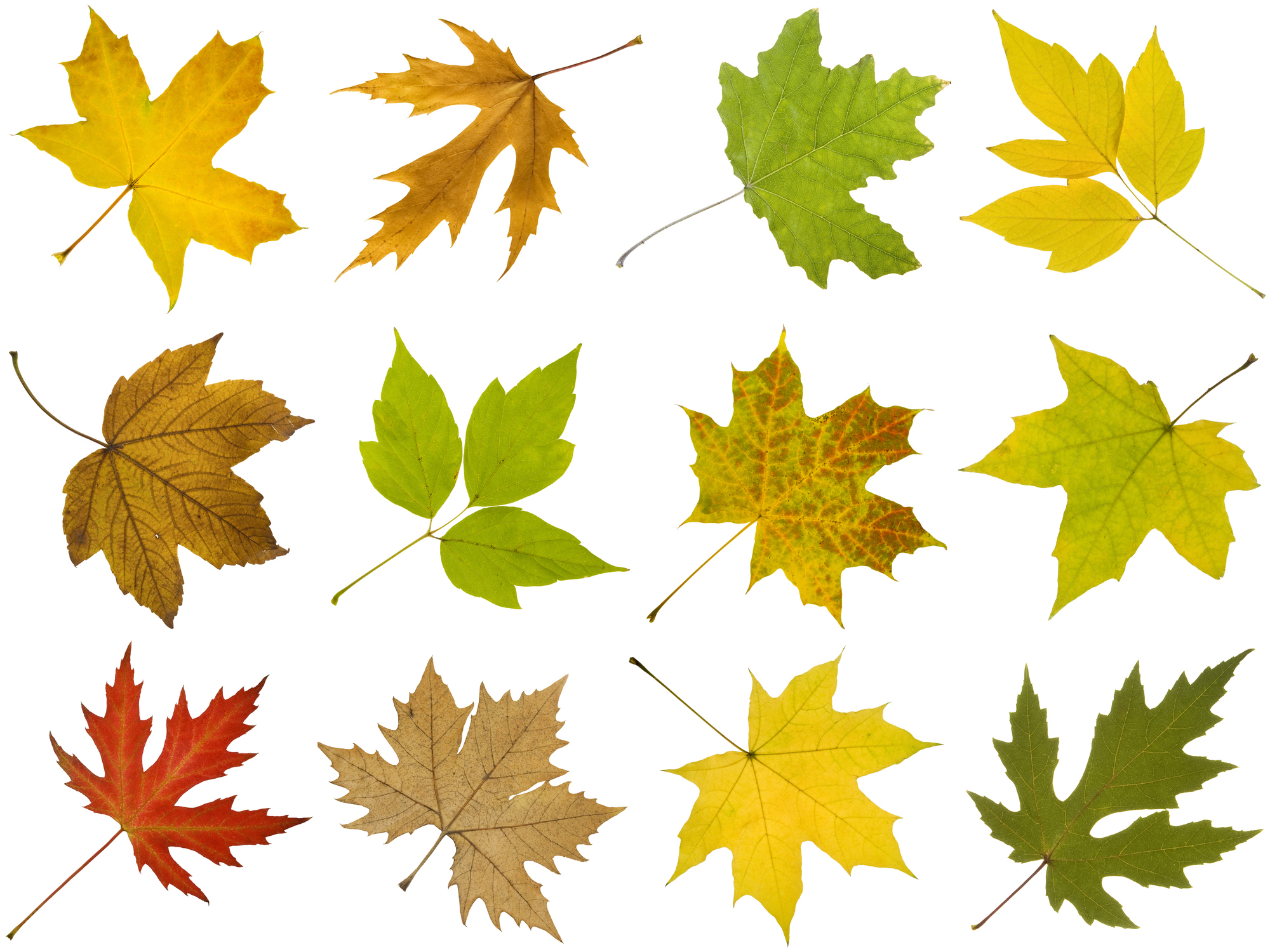 How To Identify Maple Tree Varieties Lovetoknow