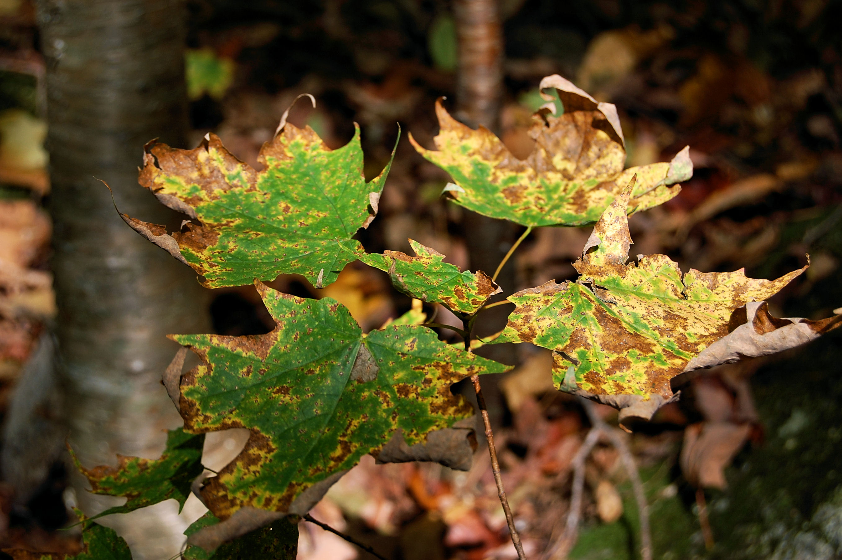 Maple Tree Diseases