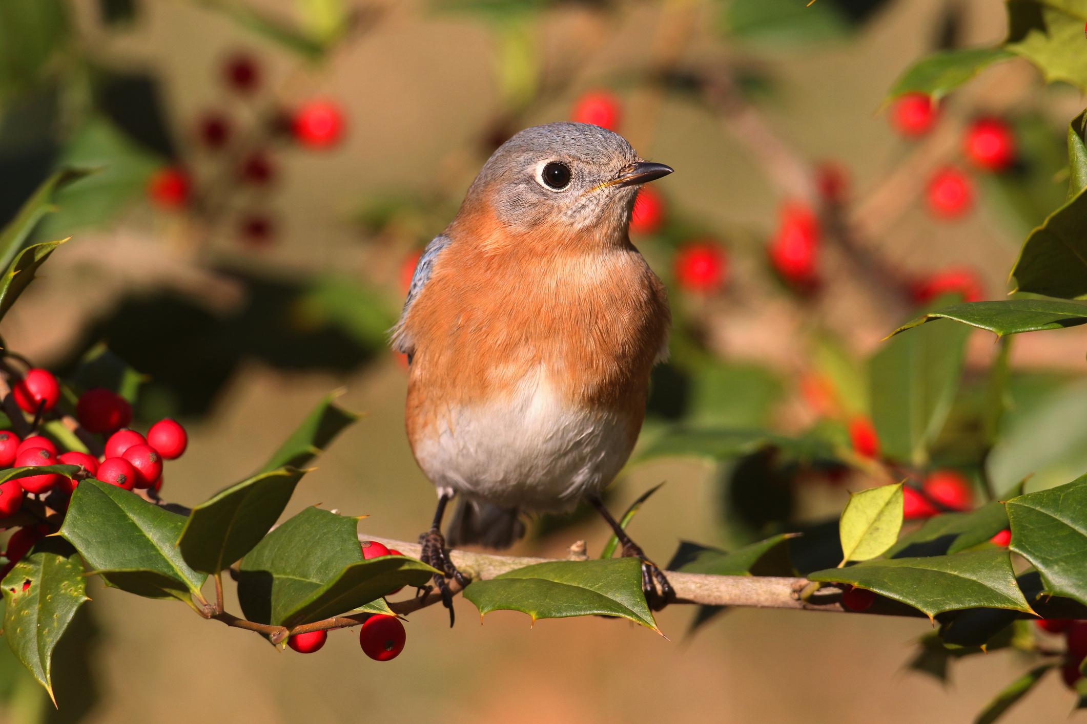 birdwithhberrytree.jpg