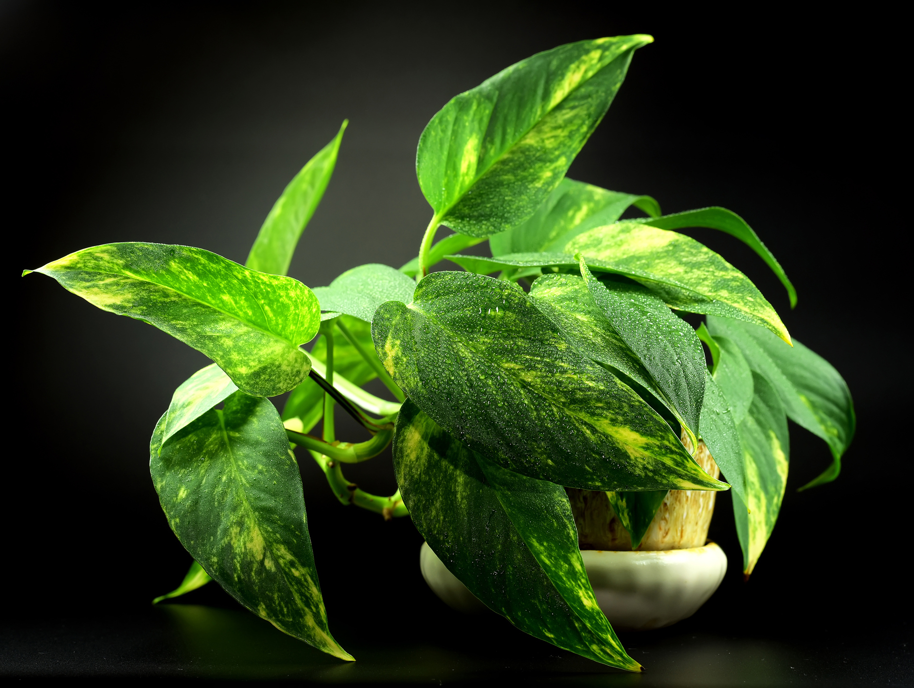 Pothos plants izmirmasajfo