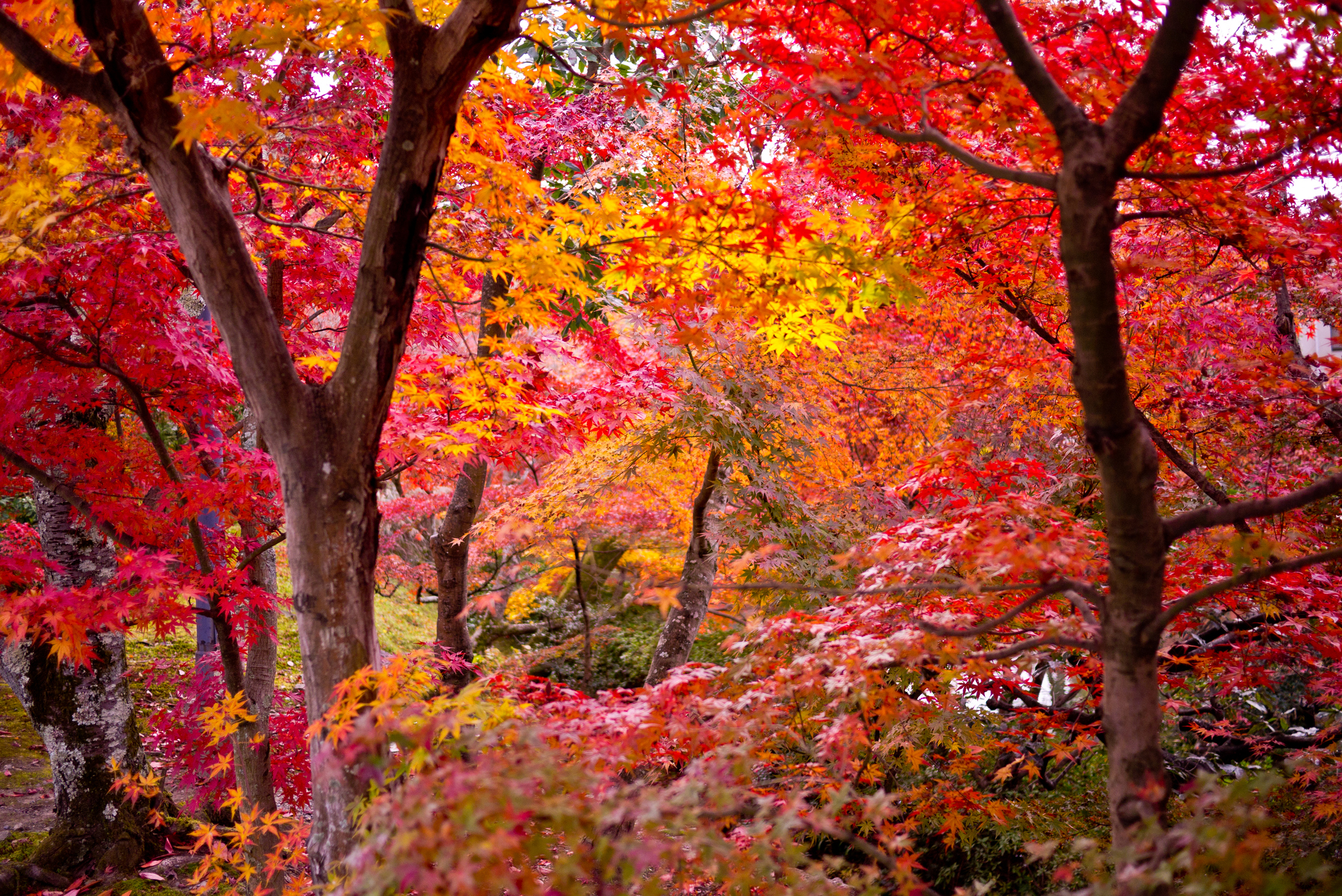 Types Of Maple Trees Lovetoknow