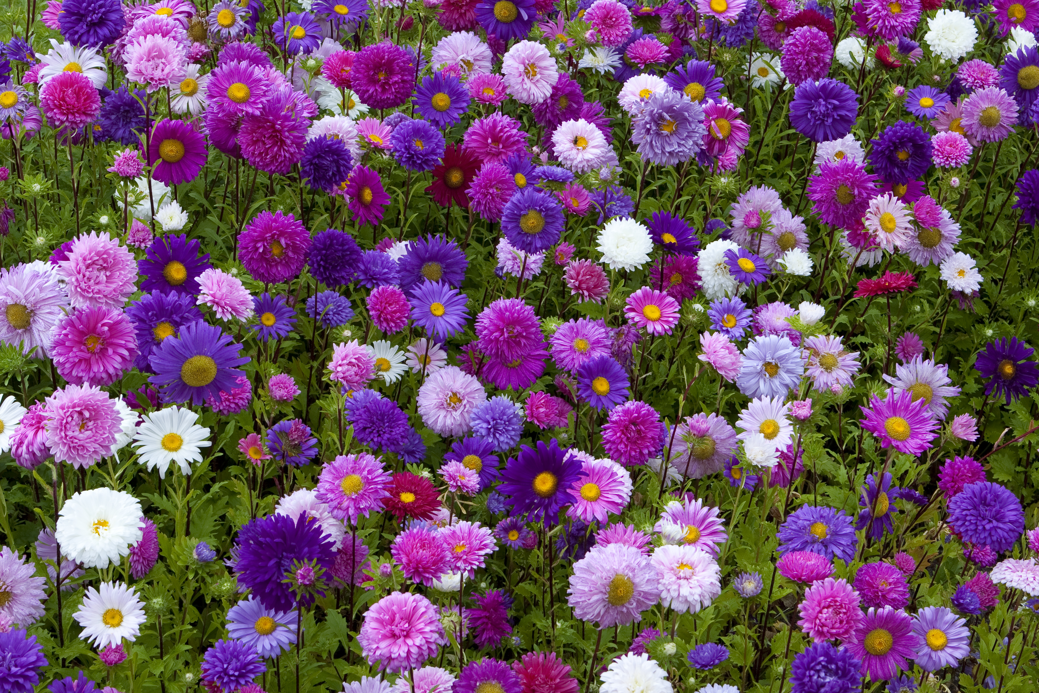 214889 3605x2403 Asters Flower Bed