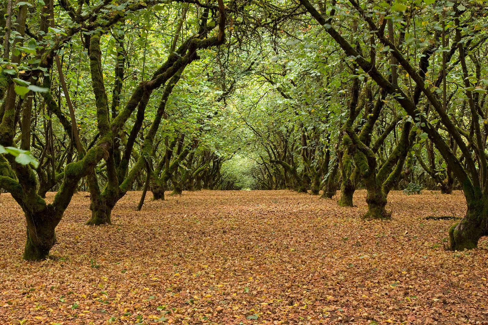 Hazel Trees   LoveToKnow