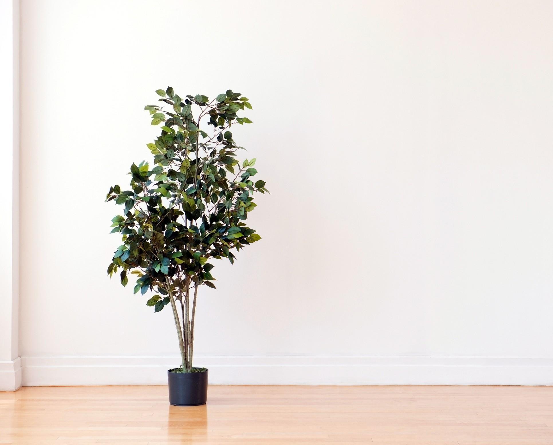 Ficus Tree Care Lovetoknow