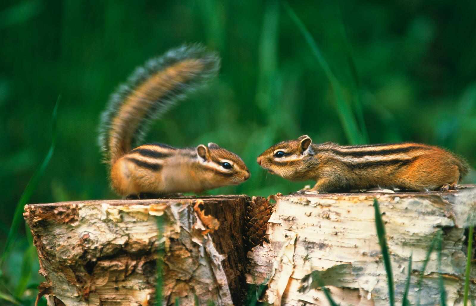 How To Get Rid Of Chipmunks Lovetoknow
