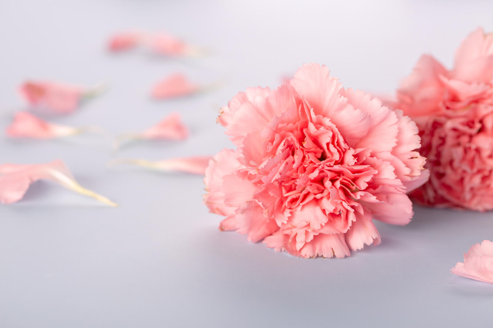 Carnations Complete Guide To Growing And Types Lovetoknow