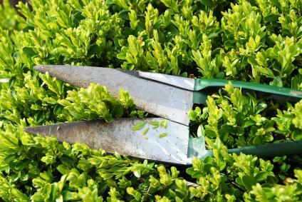 https://cf.ltkcdn.net/garden/images/slide/112018-424x283-Clippingboxwood.jpg