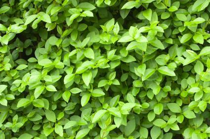 https://cf.ltkcdn.net/garden/images/slide/112054-425x282-Privet-Hedge.jpg