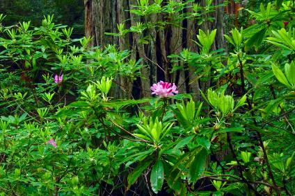 https://cf.ltkcdn.net/garden/images/slide/112055-424x283-Rhododendron.jpg