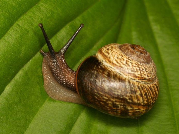 https://cf.ltkcdn.net/garden/images/slide/112069-693x520-Snail.jpg