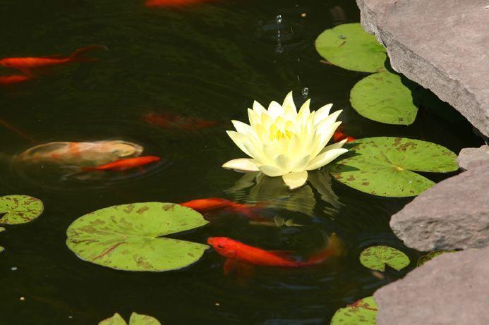 https://cf.ltkcdn.net/garden/images/slide/112075-693x461-Garden-Pond-with-Fish.jpg