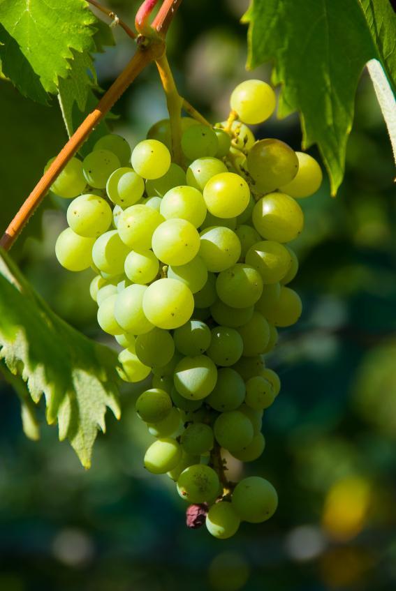 https://cf.ltkcdn.net/garden/images/slide/112076-567x847-Grapes-on-Vine.jpg