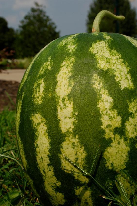 https://cf.ltkcdn.net/garden/images/slide/112077-565x850-Watermelon.jpg