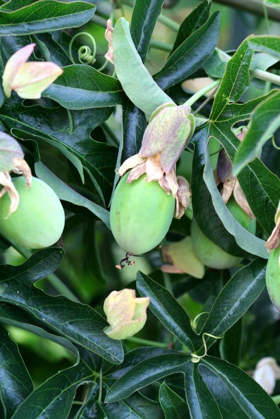 https://cf.ltkcdn.net/garden/images/slide/112079-566x848-Passion-Fruit-Plant.jpg